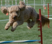F1 Goldendoodle Agility