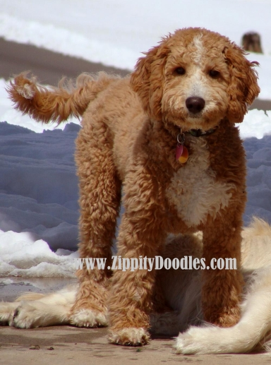 Guinness F1b English Goldendoodle